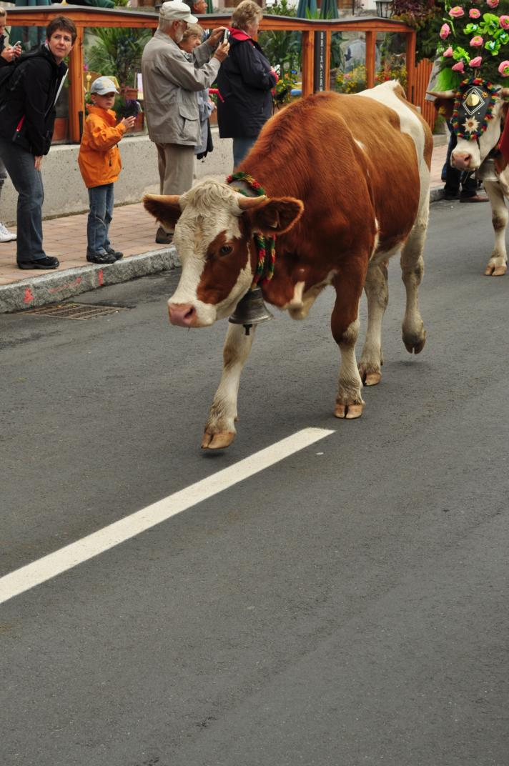 cows-come-home-sep-2010-032