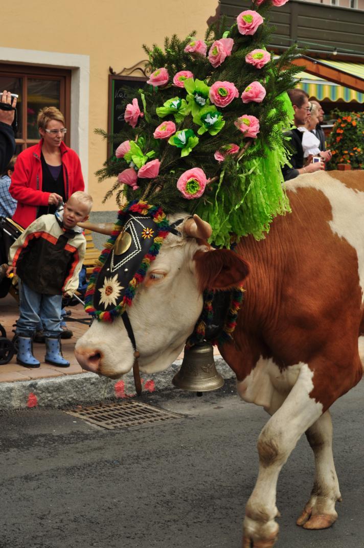 cows-come-home-sep-2010-033