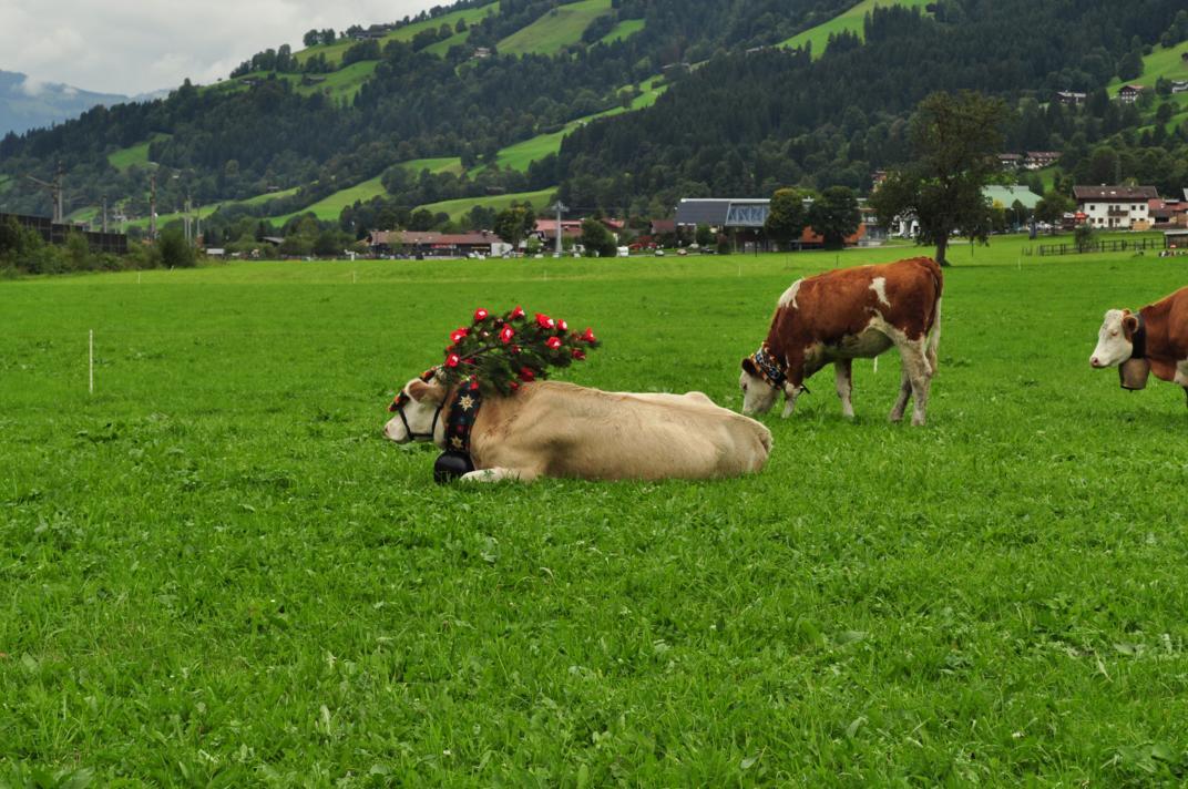 cows-come-home-sep-2010-043