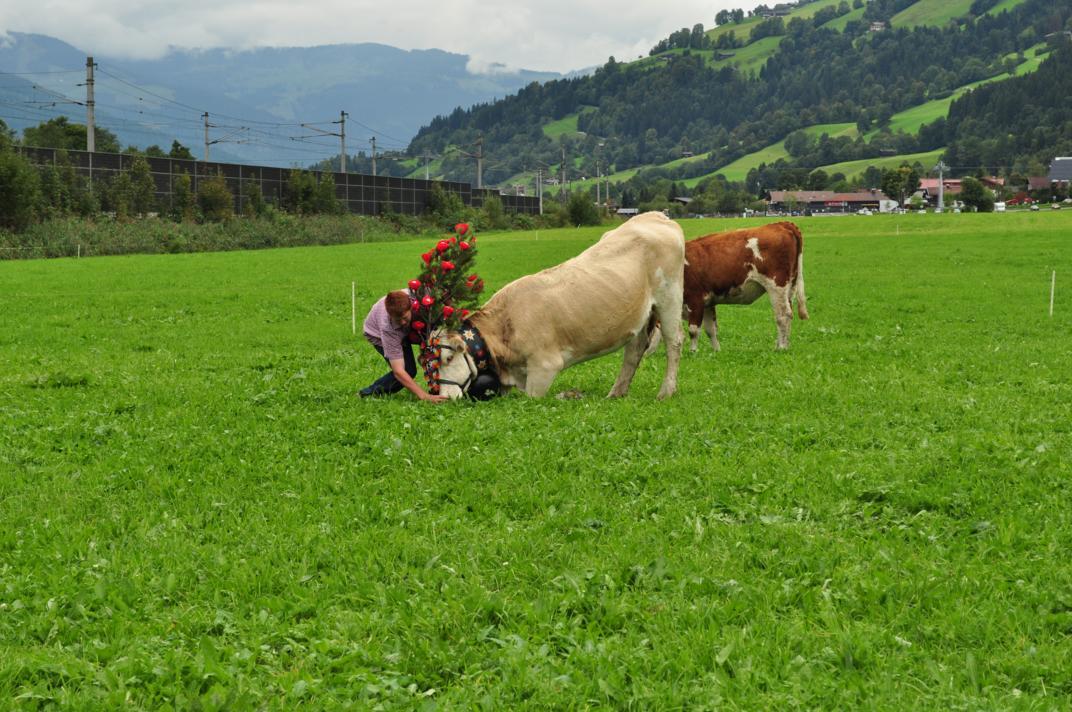cows-come-home-sep-2010-045