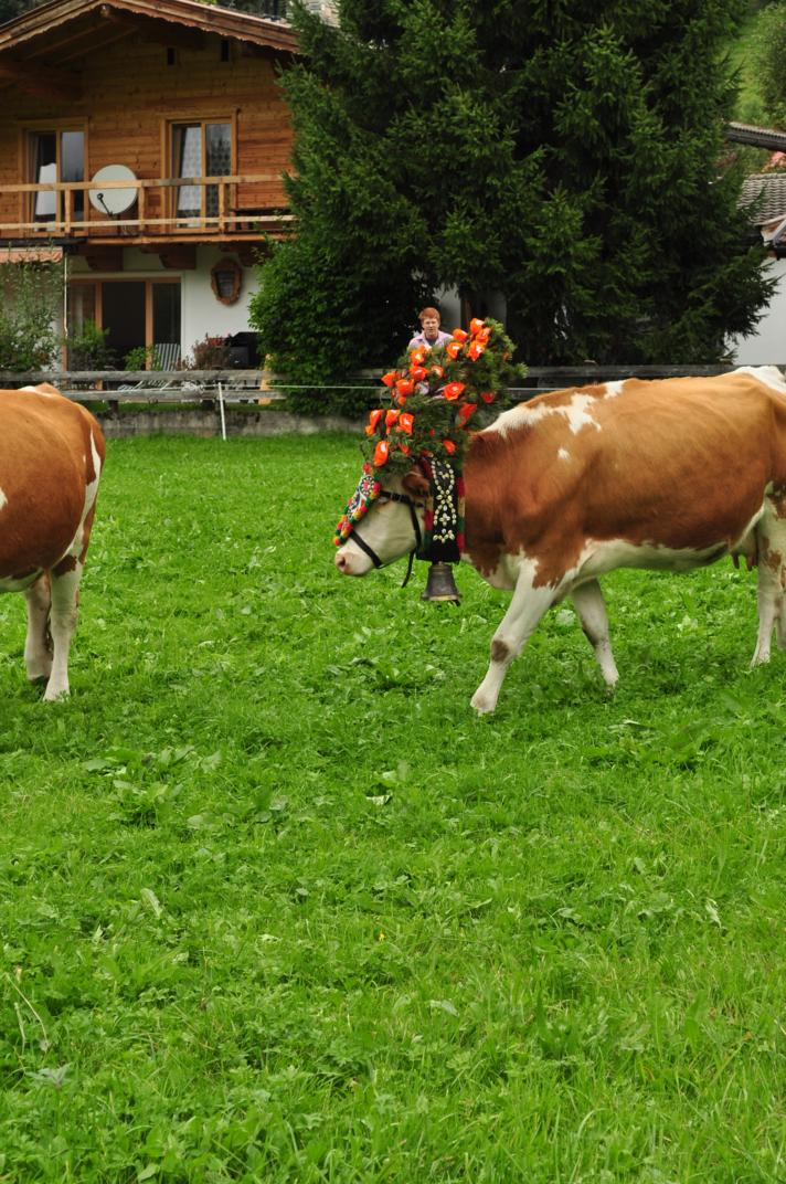 cows-come-home-sep-2010-051