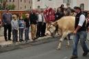 cows-come-home-sep-2010-016