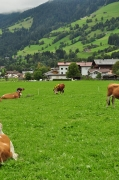 cows-come-home-sep-2010-044