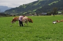 cows-come-home-sep-2010-047