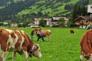 cows-come-home-sep-2010-055